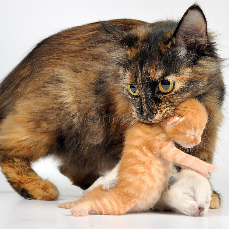 Mother cat carrying newborn kitten. MOther cat with newborn kitten in her mouth. Studio shot royalty free stock images