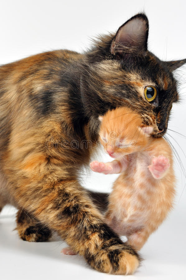Mother cat carrying newborn kitten. Mother cat with newborn kitten in her mouth. Studio shot stock photos