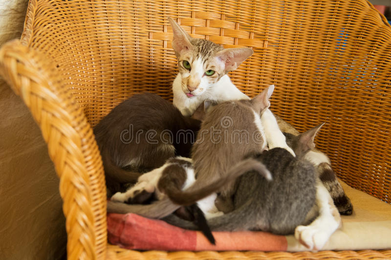 Download Mother Cat With Drinking Kitten Stock Photo - Image: 33160830