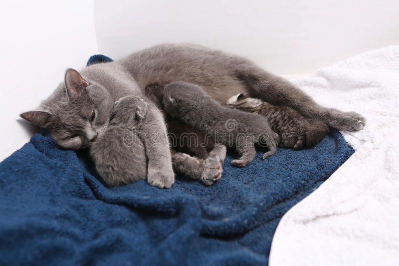Mother cat hugging her babies. Mother cat breastfeeding her British shorthair baby, newly born first day of life royalty free stock images