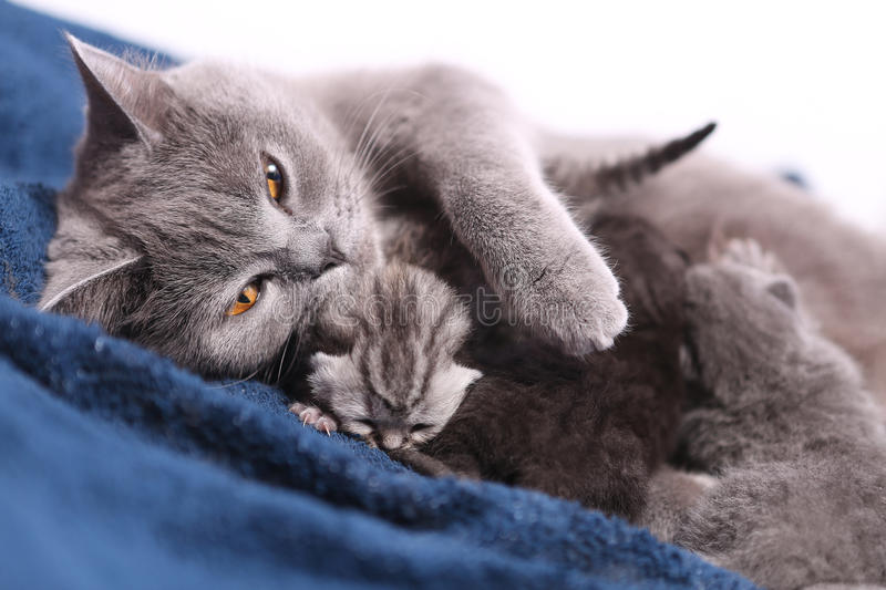 Mother cat hugging her babies. Mother cat hugging her British shorthair baby, newly born first day of life stock photos