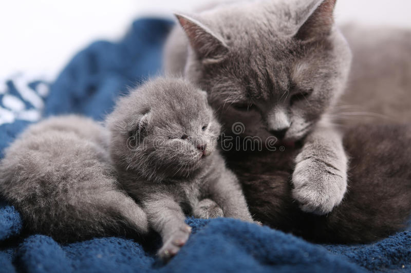 Mother cat hugging her babies. Mother cat hugging her British shorthair baby, newly born first day of life royalty free stock photo
