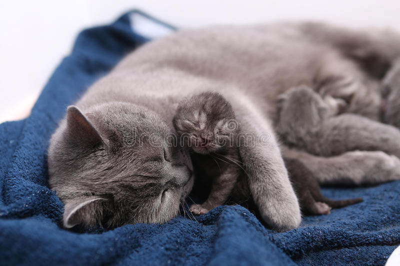 Mother cat hugging her babies. Mother cat licking her British shorthair baby, newly born first day of life royalty free stock image