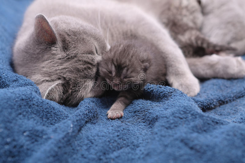 Mother cat hugging her babies. Mother cat licking her British shorthair baby, newly born first day of life royalty free stock photos
