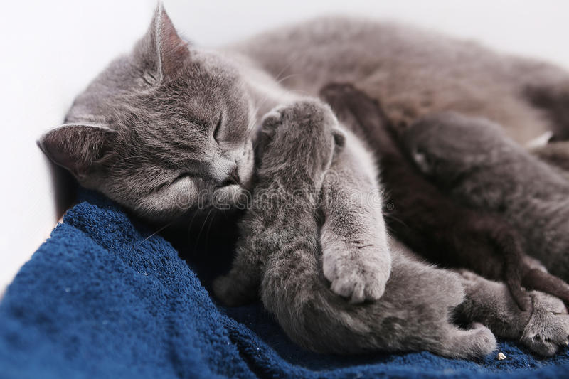 Mother cat hugging her babies. Mother cat licking her British shorthair baby, newly born first day of life stock image