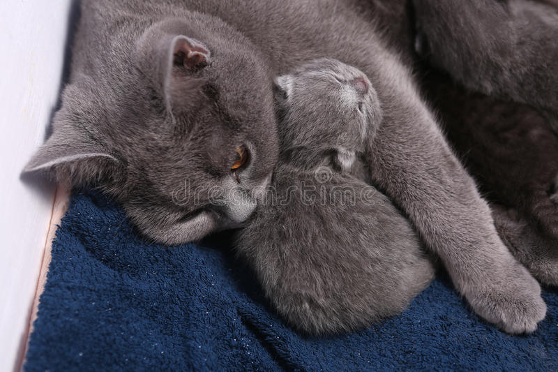 Mother cat hugging her babies. Mother cat licking her British shorthair baby, newly born first day of life stock photos