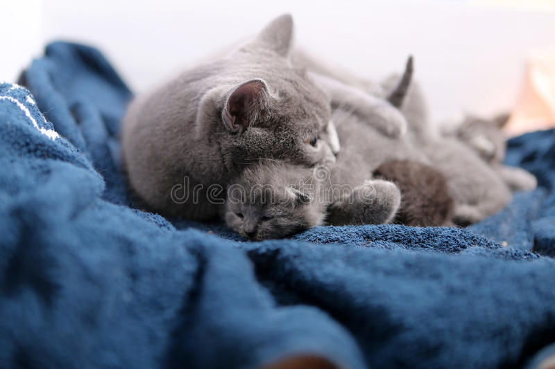 Mother cat hugging her babies. Mother cat licking her British shorthair baby, newly born first day of life stock photo