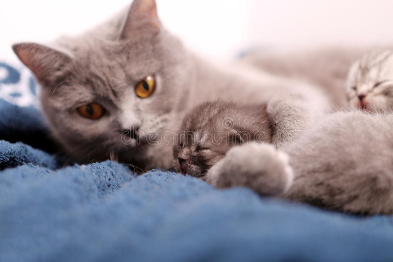 Mother cat hugging her babies. Mother cat licking her British shorthair baby, newly born first day of life royalty free stock photography