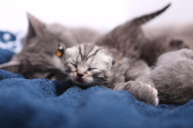 Mother cat hugging her babies. Mother cat licking her British shorthair baby, newly born first day of life stock images