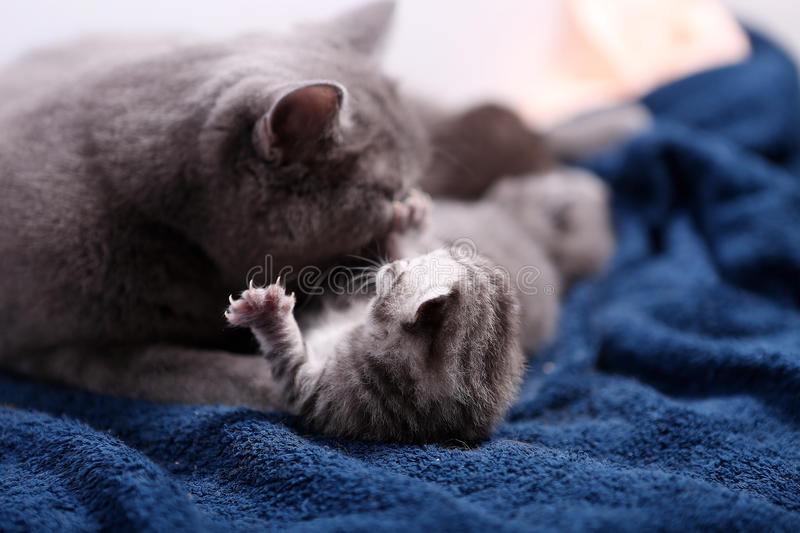 Mother cat hugging her babies. Mother cat licking her British shorthair baby, newly born first day of life royalty free stock photo