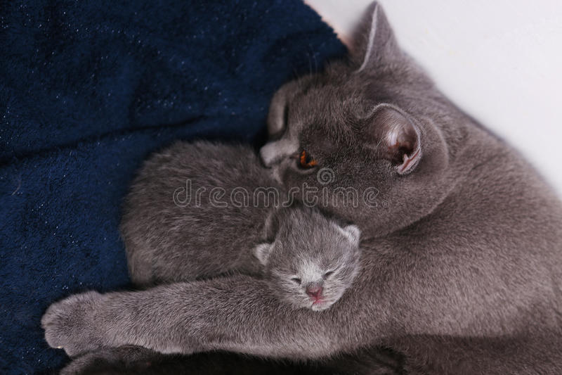 Mother cat hugging her baby. Mother cat hugging her British shorthair baby, newly born first day of life royalty free stock photography