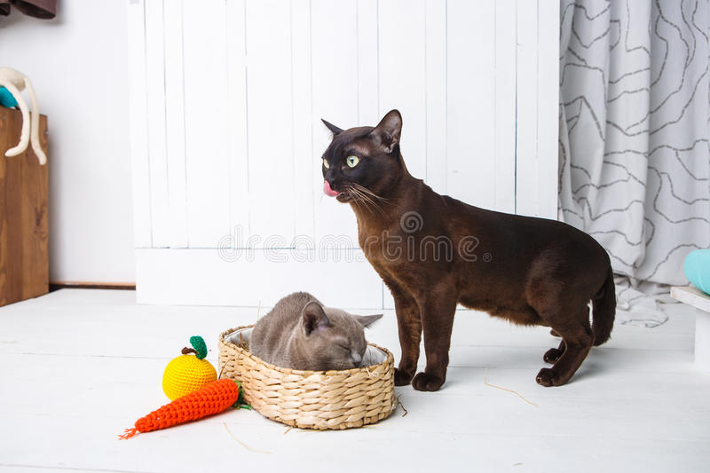 mother cat kisses, washes, licks her baby kittens. Wicker basket, white background stock photo