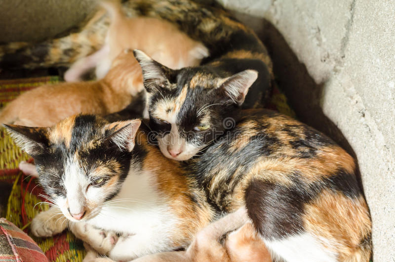 Mother cat and kitten. Calico or parti-colour Mother cat and kitten lying on the ground royalty free stock photos