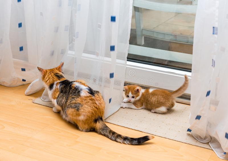 Mother cat and kitten sitting near curtains. Little ginger and white kitten looking at the tail of adult tricolor cat. A mother cat and kitten sitting near the royalty free stock image