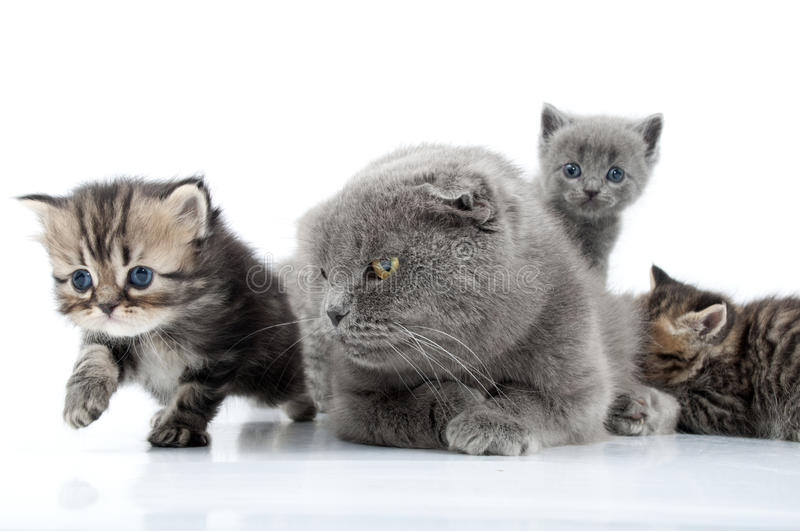 Mother cat with kittens. Family portrait of mother cat with her kittens stock images