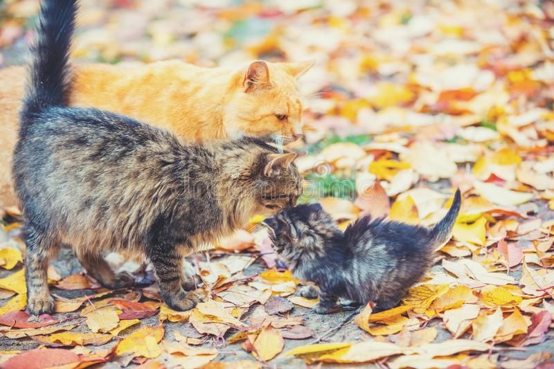 Mother cat with little kitten walks on fallen leaves. In the autumn garden royalty free stock photo