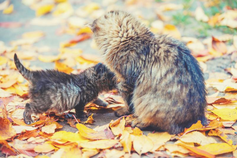 Mother cat with little kitten walks on fallen leaves. In the autumn garden stock photos