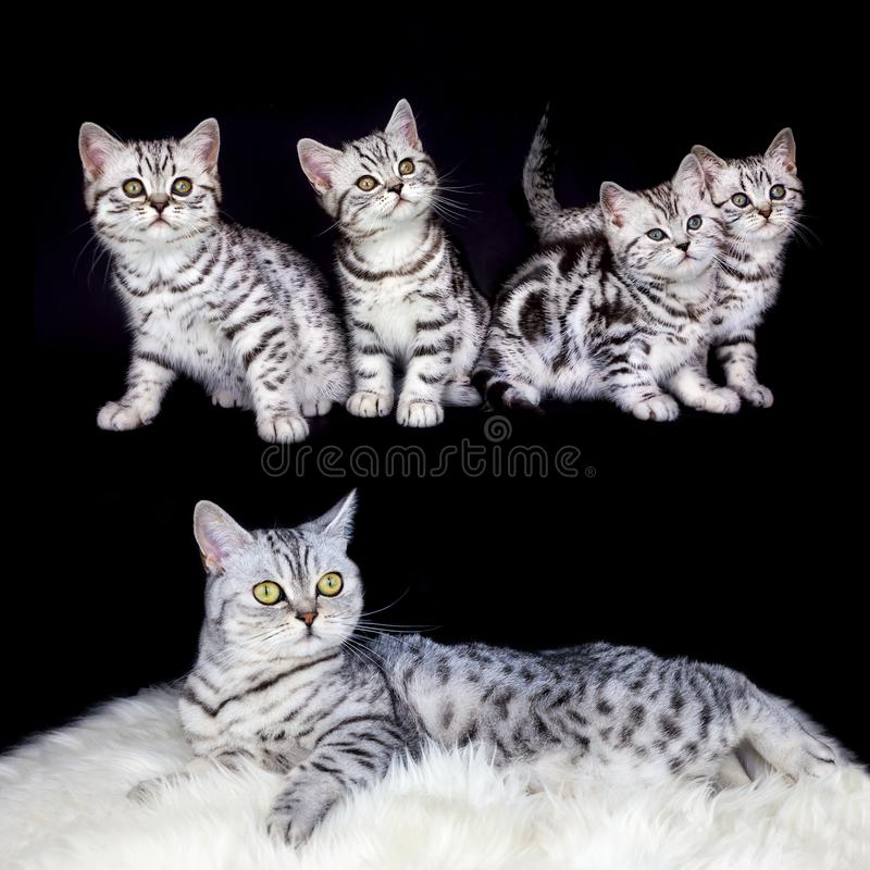 Mother with nest tabby kittens on black background stock images