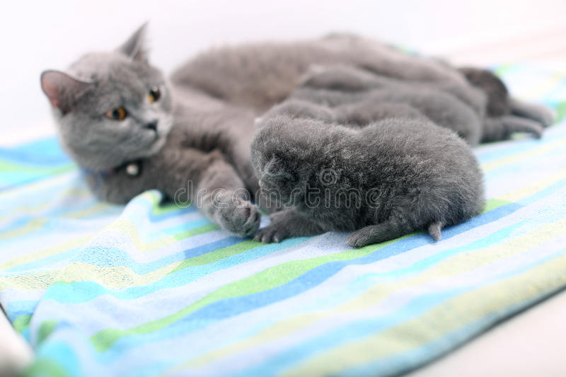 Mother cat and newly born kitten. Cute British Shorthair newly born baby one day old, together with mom stock images