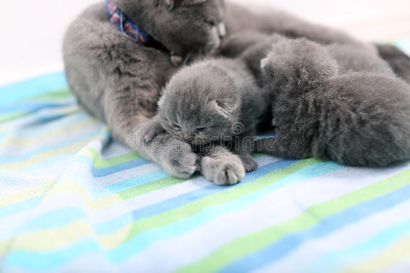 Mother cat and newly born kitten. Cute British Shorthair newly born baby one day old, together with mom stock image
