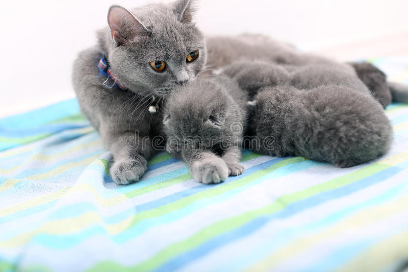 Mother cat and newly born kitten. Cute British Shorthair newly born baby one day old, together with mom royalty free stock image