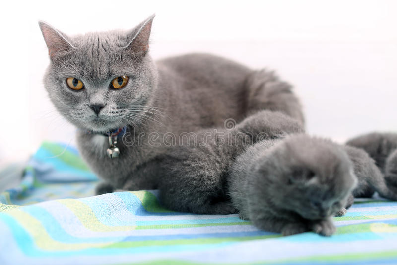 Mother cat and newly born kitten. Cute British Shorthair newly born baby one day old, walking on a towel stock photography