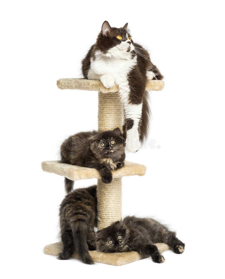 Mother cat resting with her kittens on a cat tree royalty free stock photography