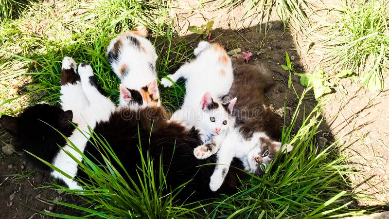 The Mother cat Sith ger kittes. Mother cat Sith ger babys feeding them în The Green grass royalty free stock photo
