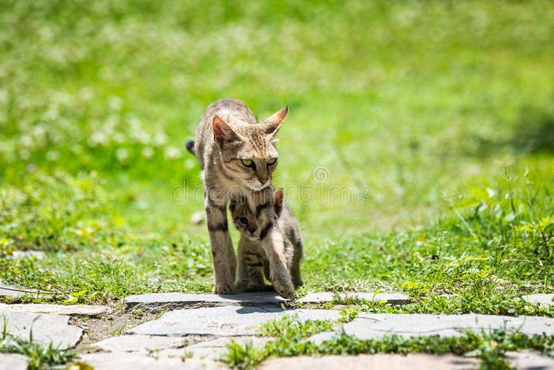 Mother cat walking with its kitten. Walking underneath her stock images