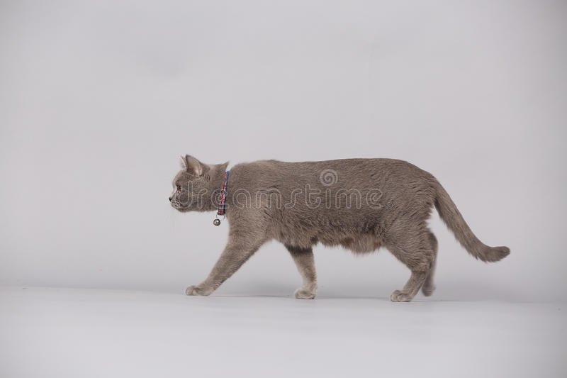 Mother cat walking in studio, isolated portrait. Newly born British Shorthair mother cat portrait, close-up view, isolated on a studio background royalty free stock photos