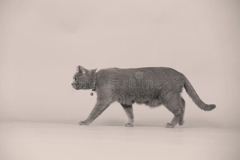 Mother cat walking in studio, isolated portrait. Newly born British Shorthair mother cat portrait, close-up view, isolated on a studio background stock image