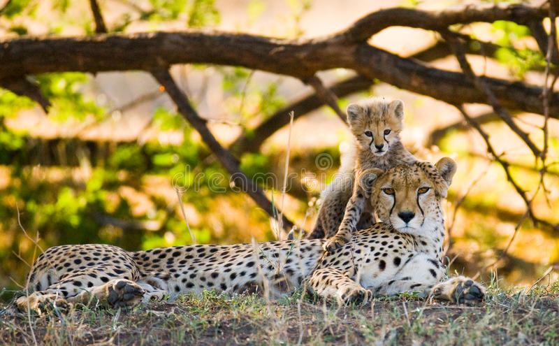 Download Mother Cheetah And Her Cub In The Savannah. Kenya. Tanzania. Africa. National Park. Serengeti. Maasai Mara. Stock Photo - Image of holiday, mammal: 77818806