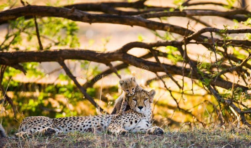 Download Mother Cheetah And Her Cub In The Savannah. Kenya. Tanzania. Africa. National Park. Serengeti. Maasai Mara. Stock Photo - Image of abdomen, ecotourism: 77819014