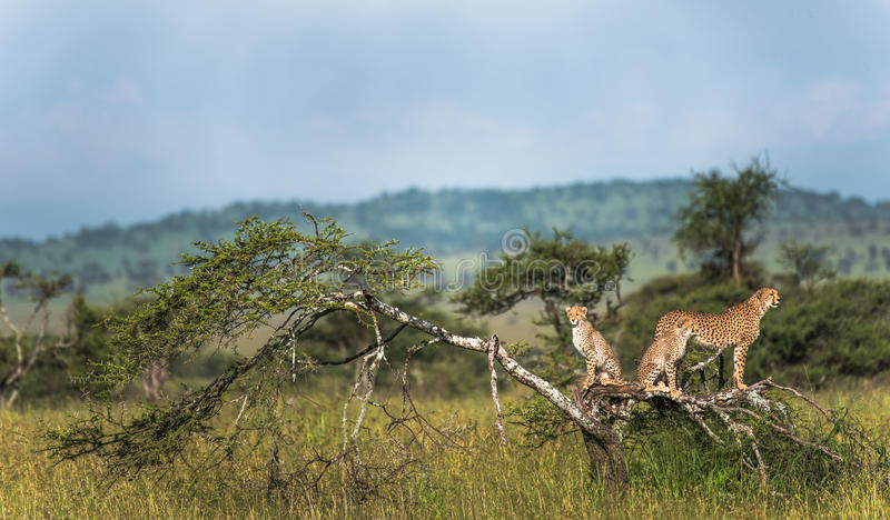 Mother Cheetah and her cubs in the wild royalty free stock image