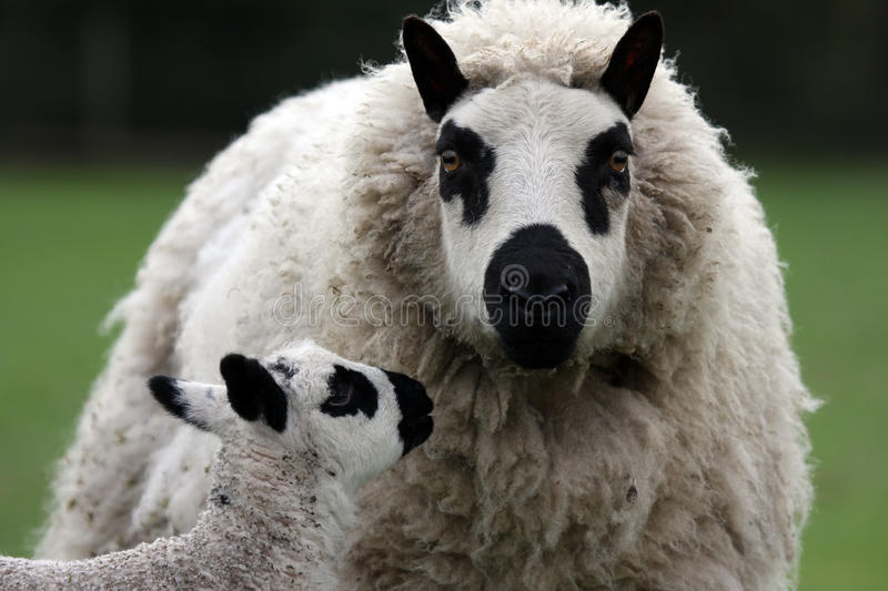 Mother and child. Newborn kerry hill lamb sniffing with the ewe royalty free stock photos