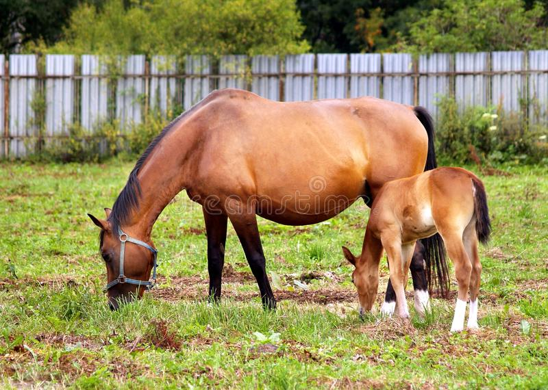 Mother and child grazing royalty free stock image