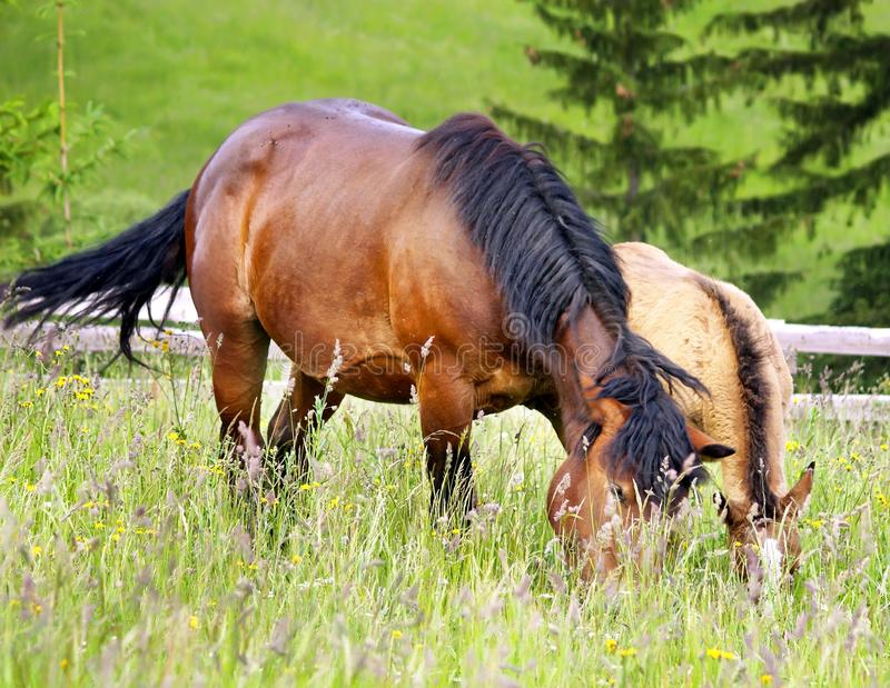 Mother and chlid grazing stock image