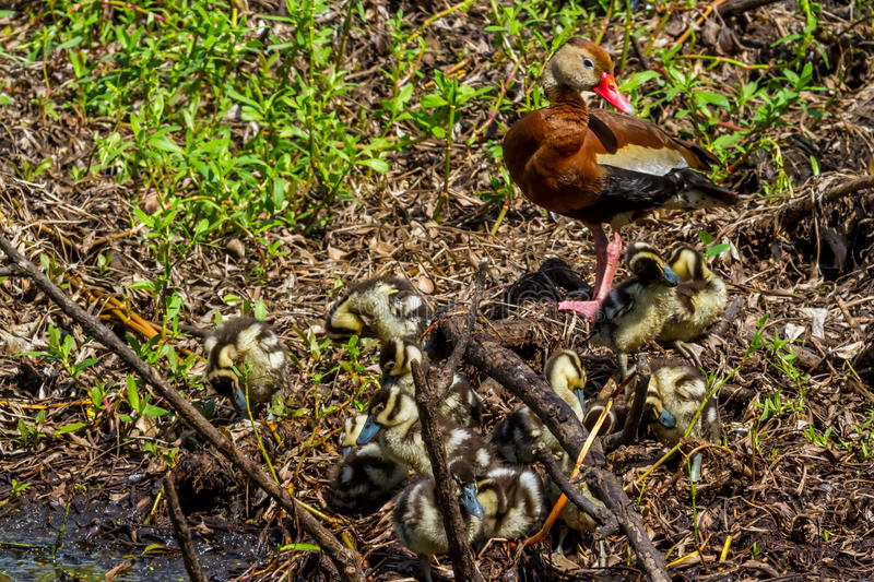 Download A Mother And A Cluster Of Baby  Black-bellied Whistling Ducks Stock Image - Image: 34549851