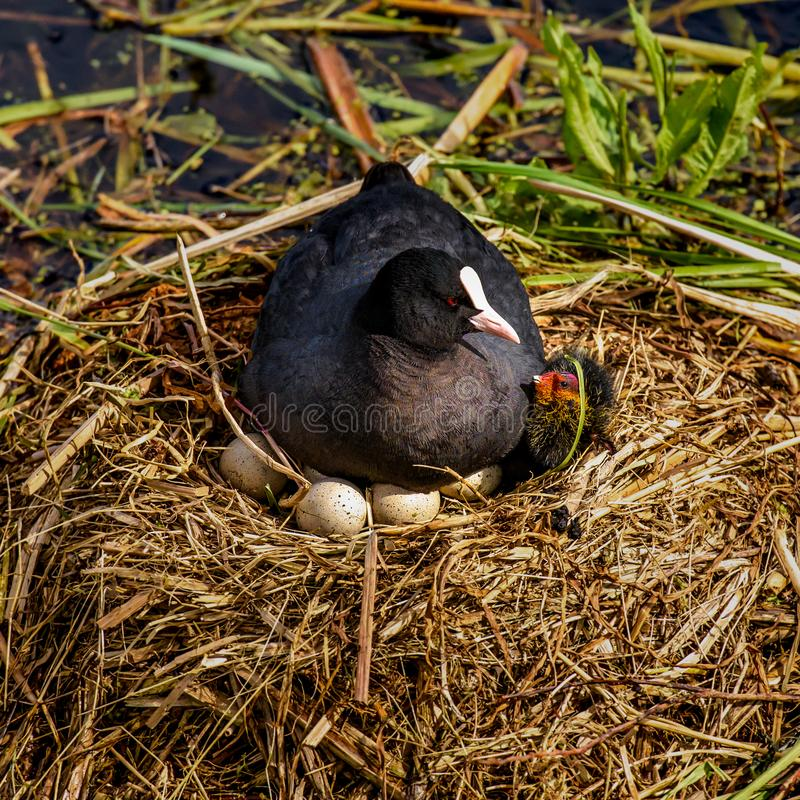 Mother coot is brooding on her nest, one young has already come stock images