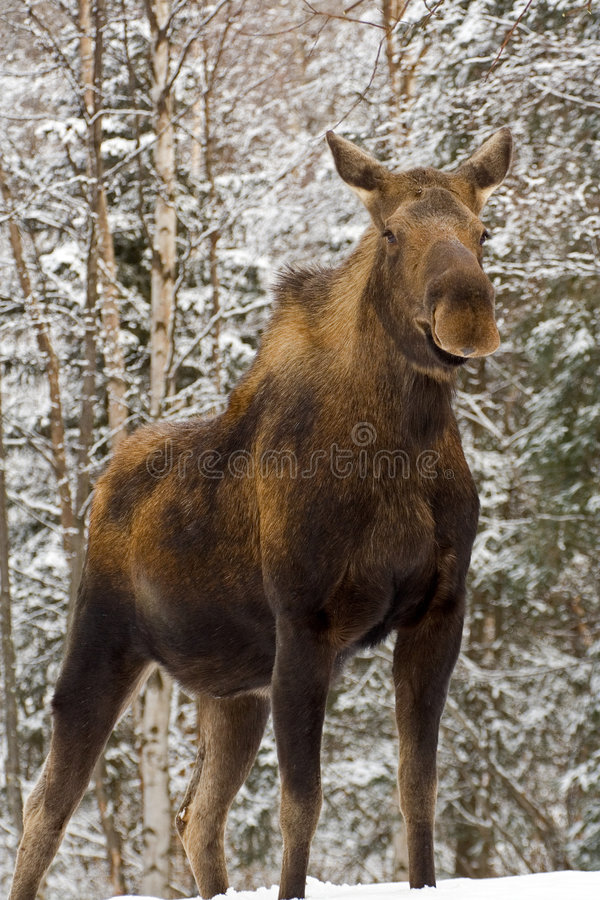 Mother Cow Moose. In alaska posing for the camera royalty free stock photography