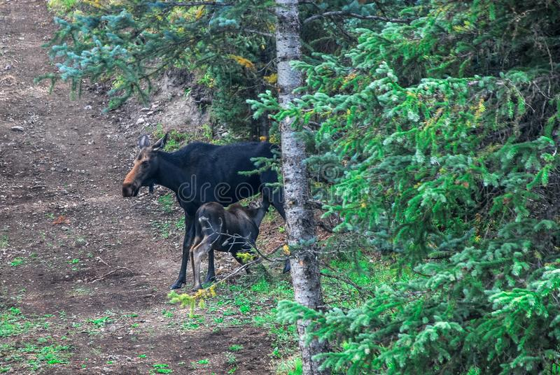 Mother Cow Moose Nursing Baby Calf in the Wild. A wild mother cow moose nursing a baby calf in the wild. Along a nature hiking trail in Colorado, United States royalty free stock image