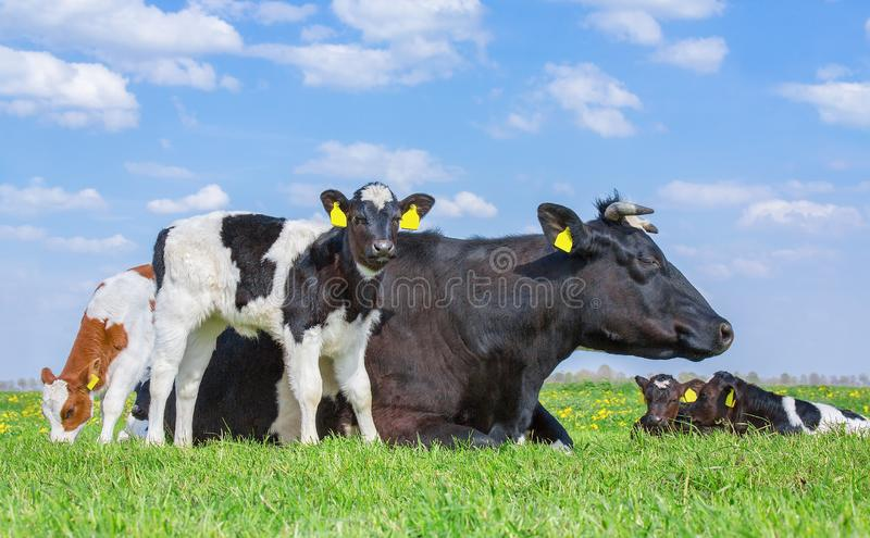 Mother cow with newborn calves in green grass stock images