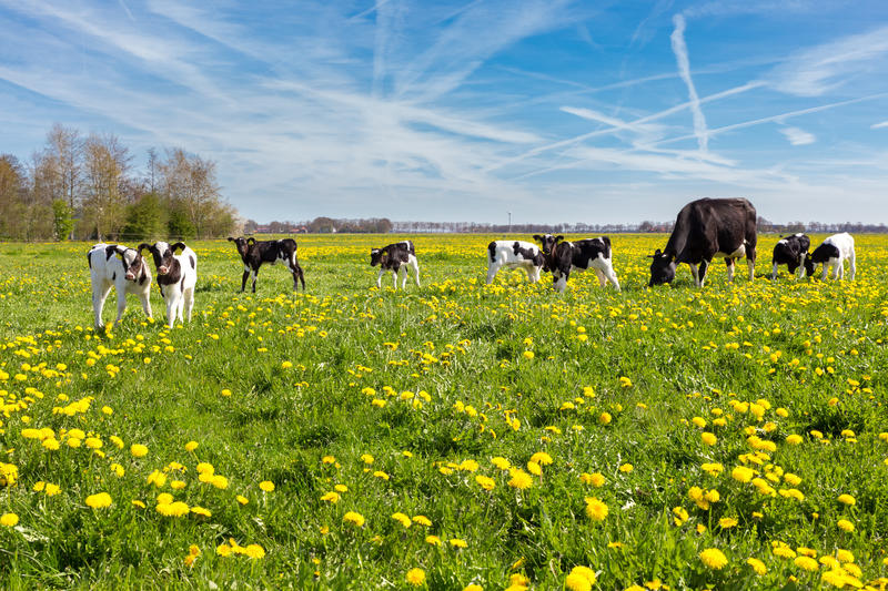 Mother cow with newborn calves in meadow with yellow dandelions royalty free stock images