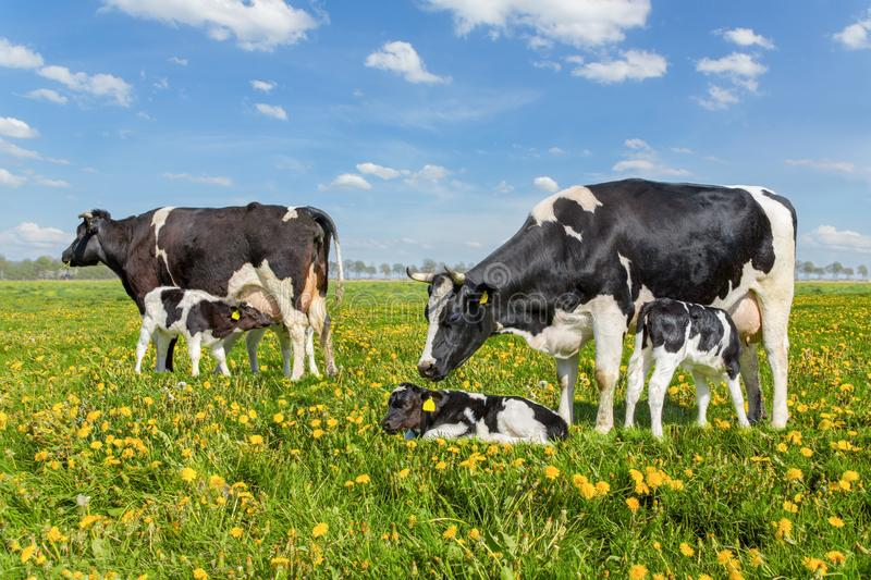 Mother cows with drinking calves in dutch meadow royalty free stock photos