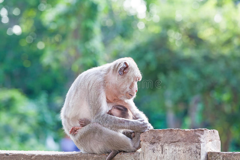 Mother Crab-eating macaque feeding her baby and sleeping on conc. Rete fence in the park on natural light stock photos