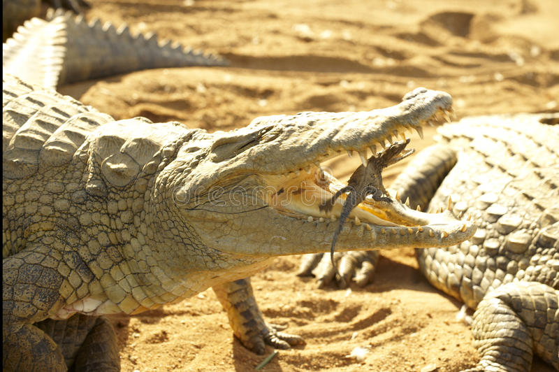 Mother crocodile flipping its young into her mouth stock photography