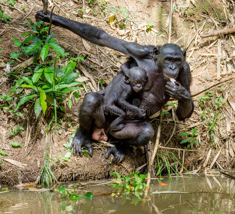 Download Mother And Cub Of Bonobo Close To The Water. Stock Photo - Image: 83712593