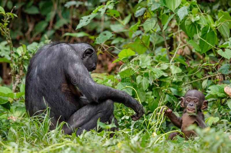 Download Mother and Cub of Bonobo. stock photo. Image of forest - 83712906