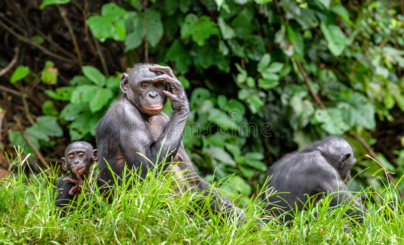 Download Mother And Cub Of Bonobo Stock Photo - Image: 83714217