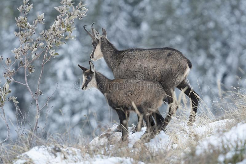 Mother and cub chamois in the snow, Rupicapra rupicapra, Chartreuse, France royalty free stock photography